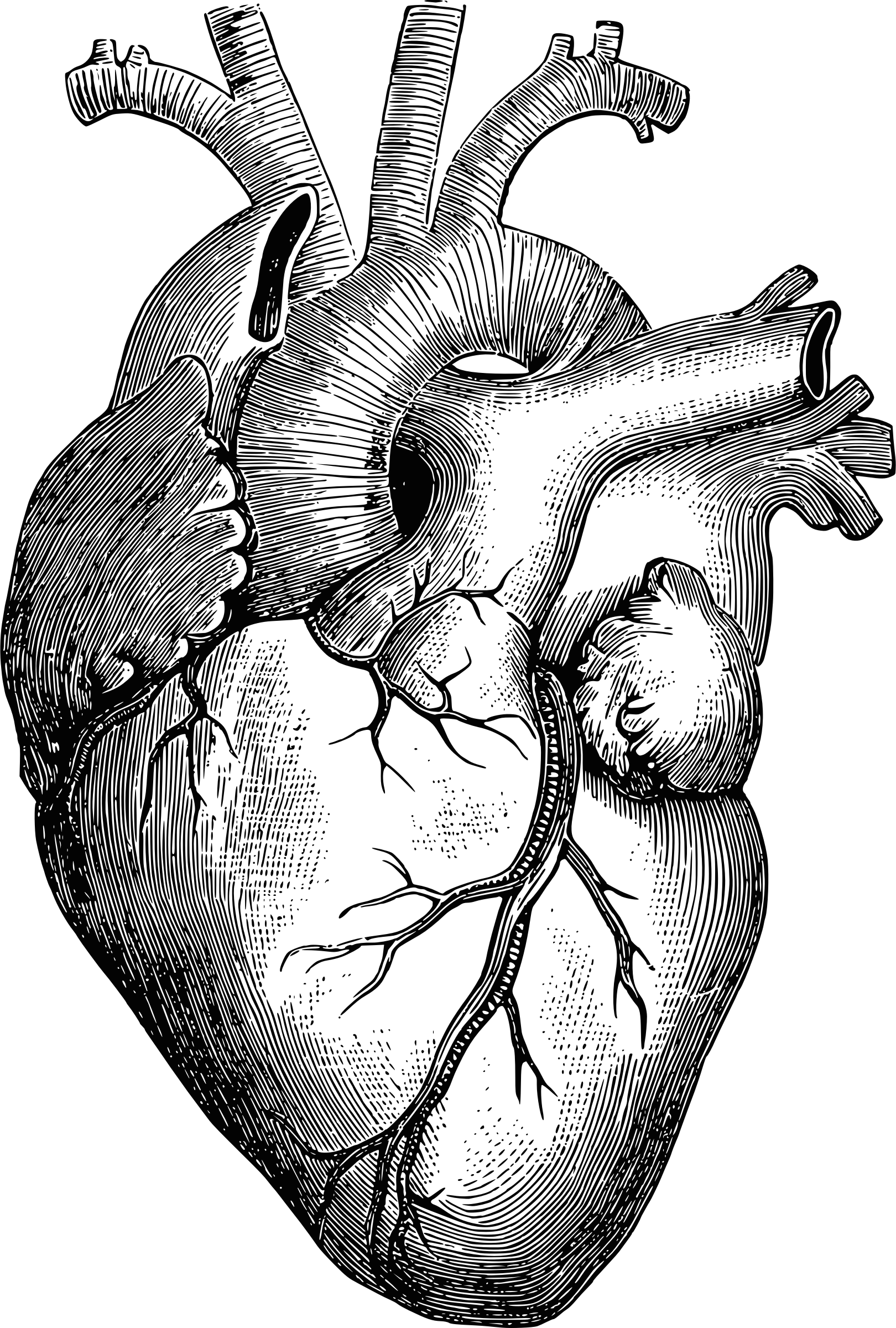 Free Anatomical Heart Pictures, Download Free Clip Art, Free.