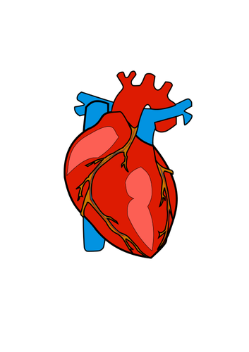 Red human heart.