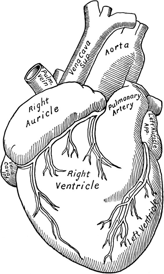 anatomical heart clip art.