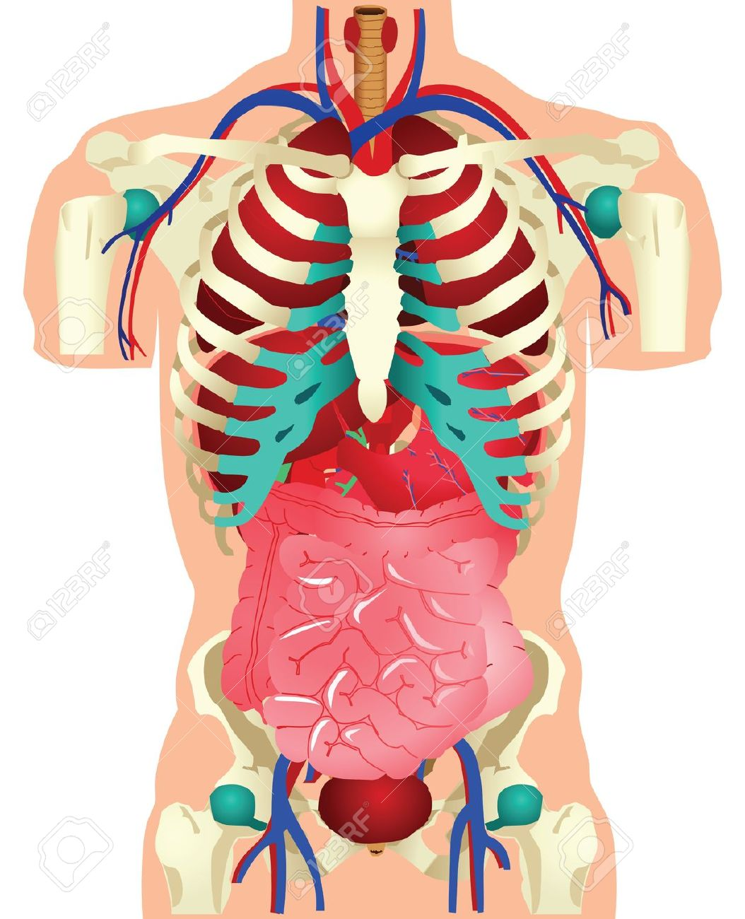 Anatomical clipart.