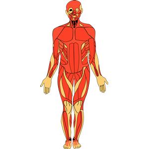 Anatomy clip art human.