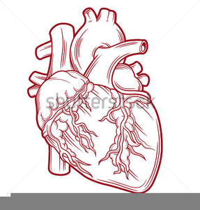 Free Anatomical Heart Clipart.
