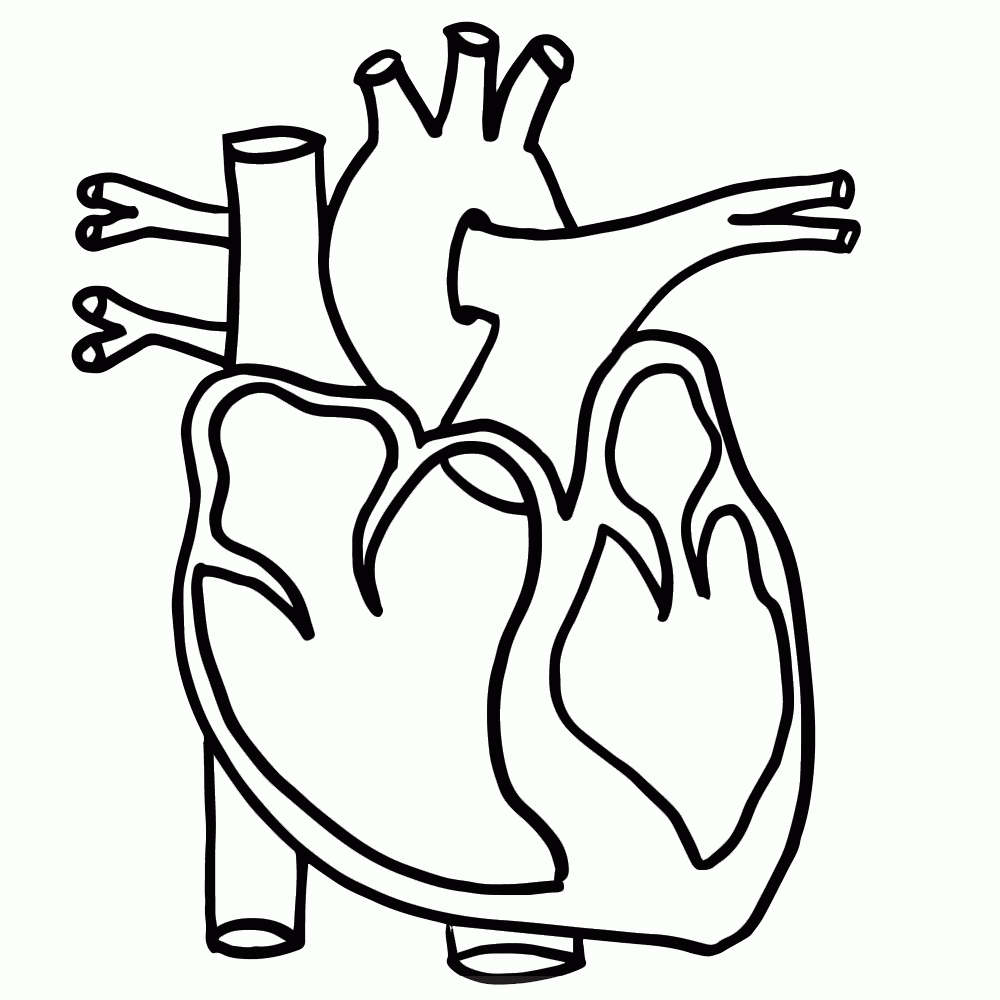 Heart Clipart Anatomical.