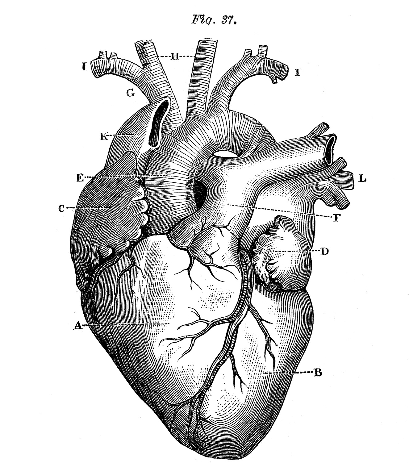 5 Anatomical Heart Pictures!.