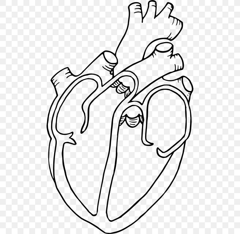 Diagram Heart Drawing Anatomy Clip Art, PNG, 502x800px.