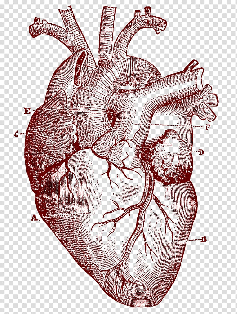 Heart illustration, Heart Human anatomy Human body , human.