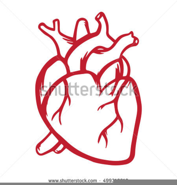 Anatomical Heart Clipart.