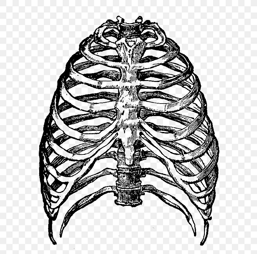 Rib Cage Human Skeleton Clip Art, PNG, 663x812px, Watercolor.