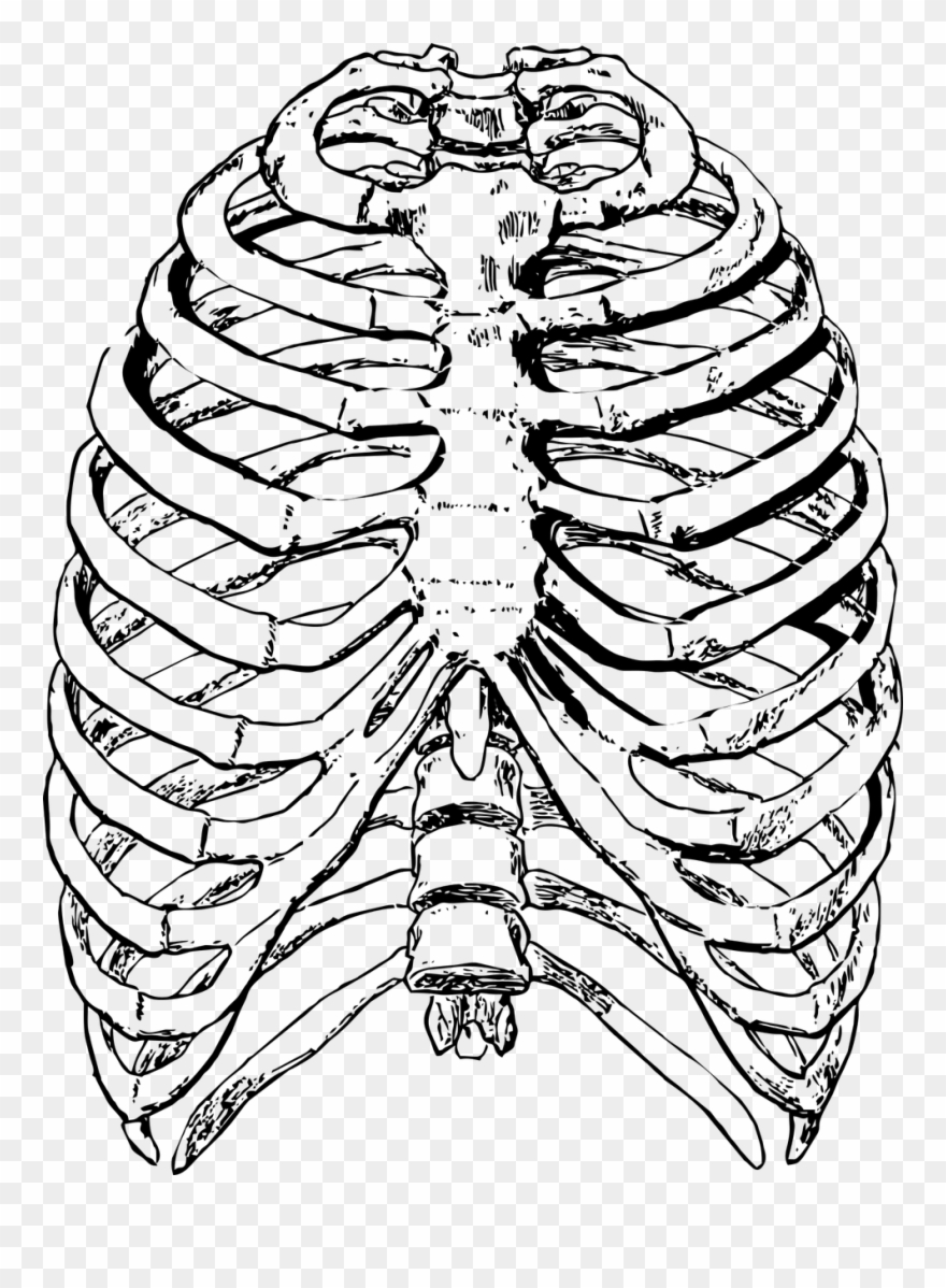 Anatomical heart in ribs clipart clipart images gallery for.