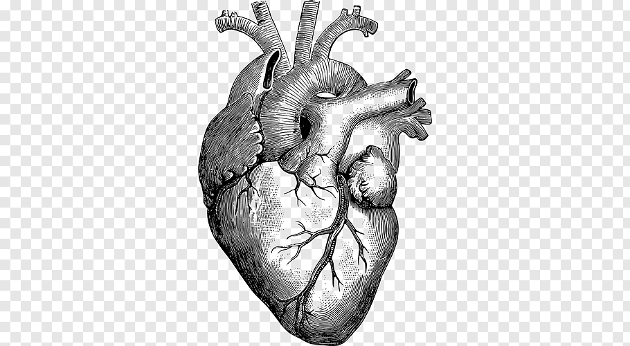 Anatomy Heart Drawing Diagram, human heart free png.
