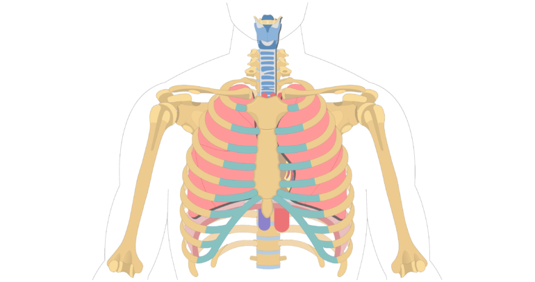 The Location, Size, and Shape of the Heart.