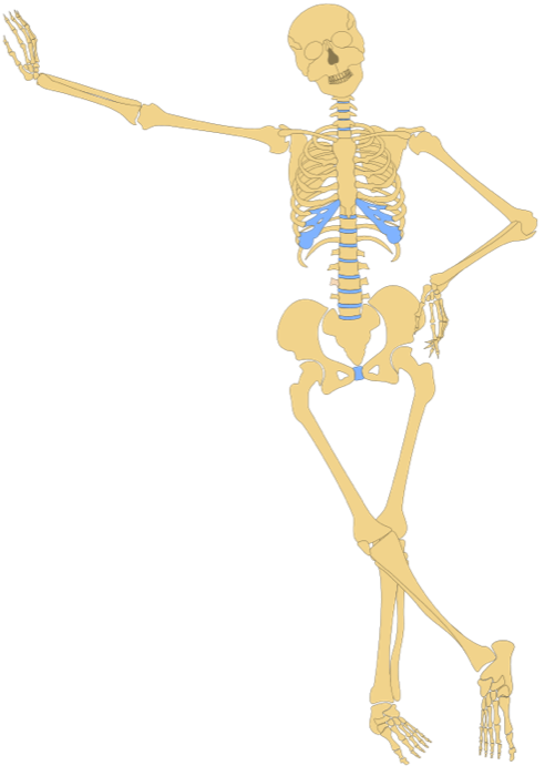 Anatomical jaunty clipart images gallery for Free Download.