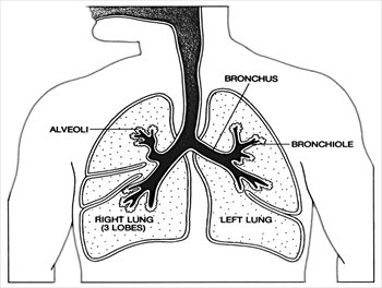 Lungs clipart anatomy, Lungs anatomy Transparent FREE for.