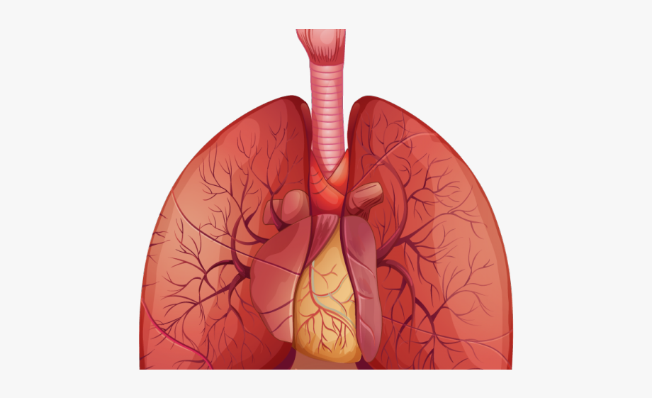 Anatomy Clipart Lung.