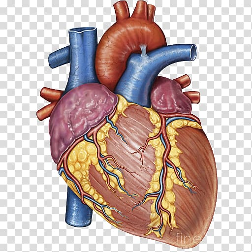 Heart Gross anatomy Human body, heart transparent background.