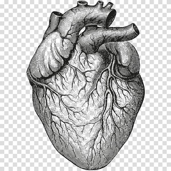 Heart sketch, Heart Anatomy & Physiology II Organ Drawing.