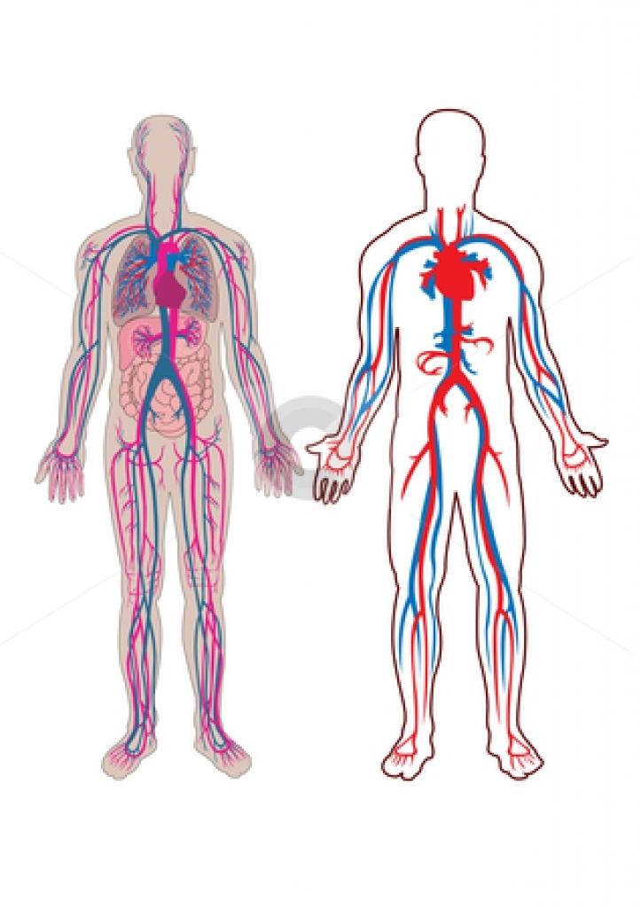 Human anatomy clipart.
