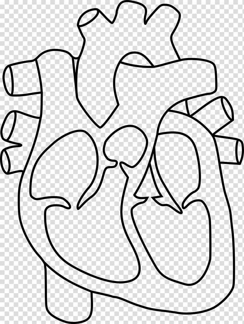 Heart Anatomy Coloring book Drawing , human heart.
