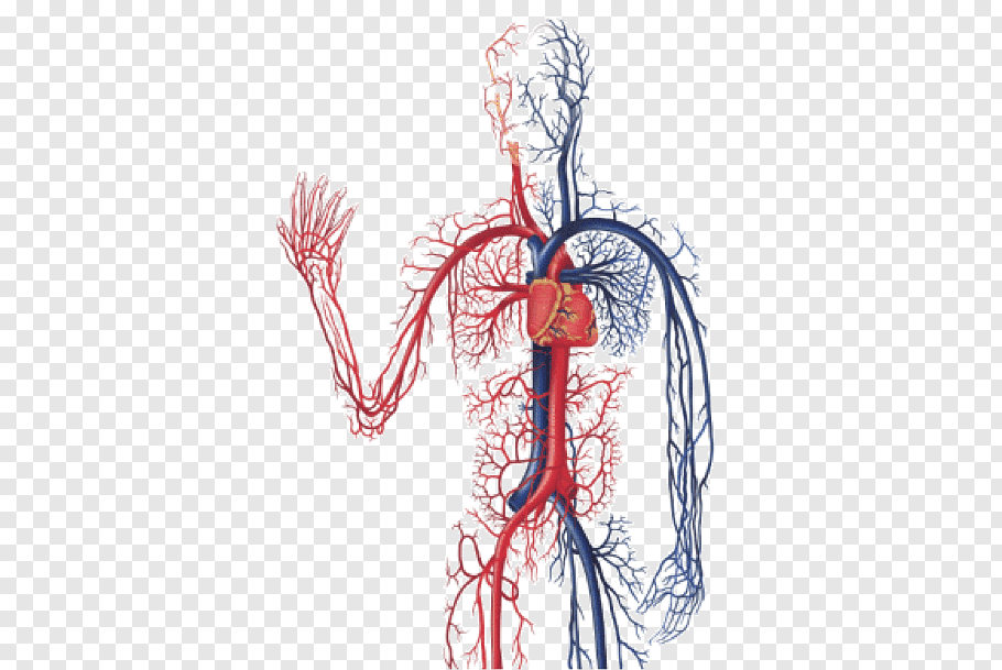 Heart anatomy, The Cardiovascular System Circulatory system.