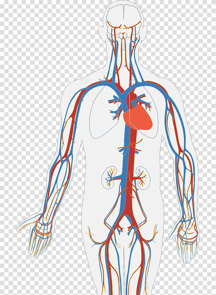 Circulatory system Human body Diagram Organ Heart, heart.