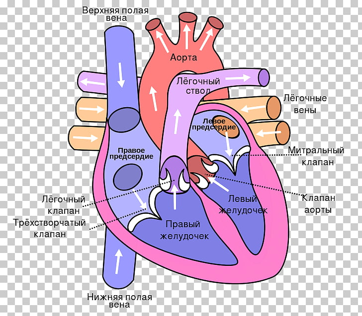 Anatomy of the Heart Diagram Lung Circulatory system, heart.