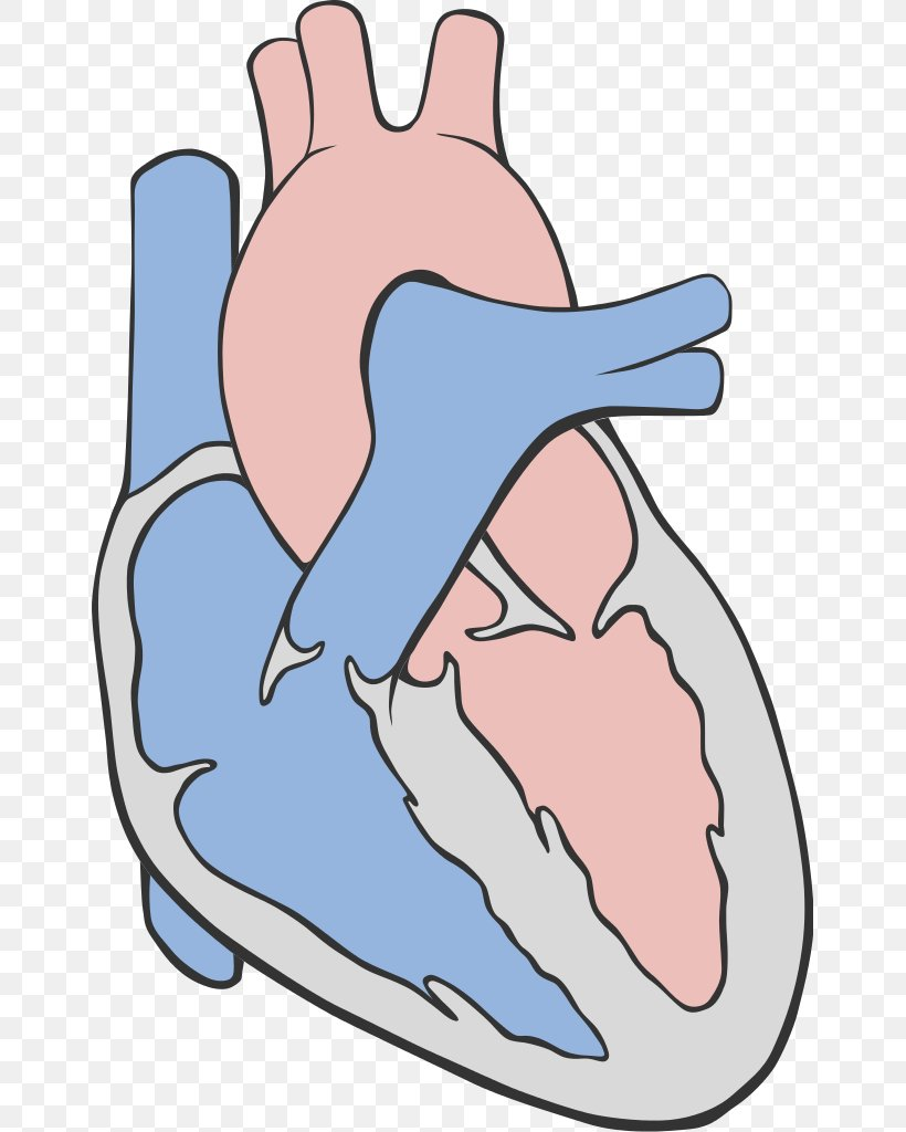 Bird Heart Bald Eagle Circulatory System Anatomy, PNG.