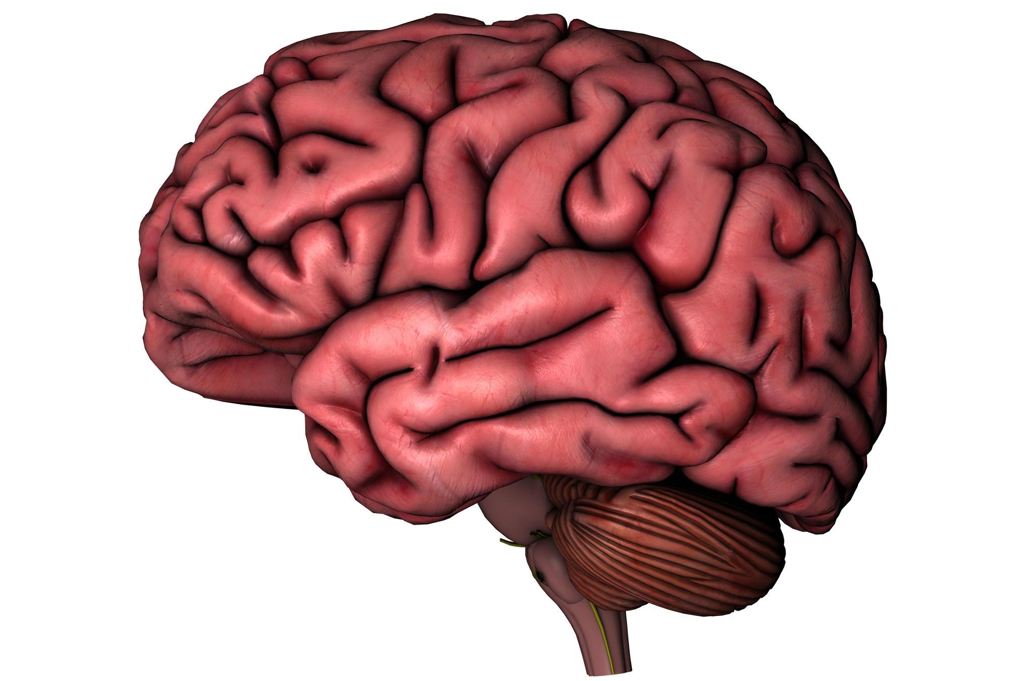 Human Brain Clipart For Kids.