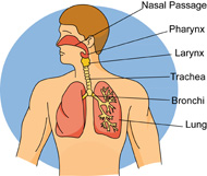 Search Results for respiratory system.