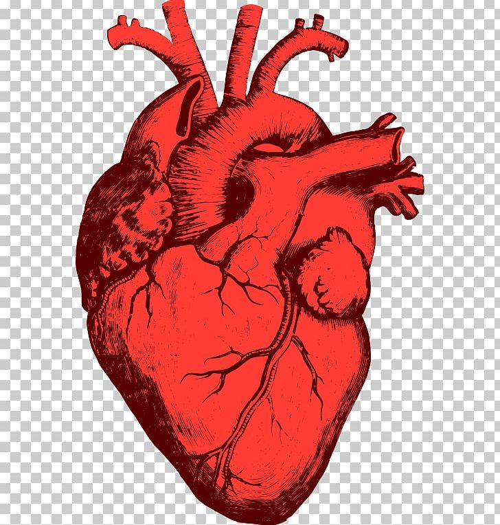 Heart Anatomy Organ Human Body PNG, Clipart, Anatomy, Art.