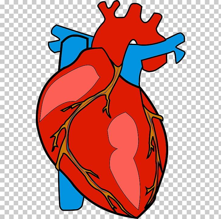 Heart Human body Anatomy , heart PNG clipart.