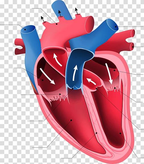 Heart Anatomy Human body Organ Circulatory system, human.