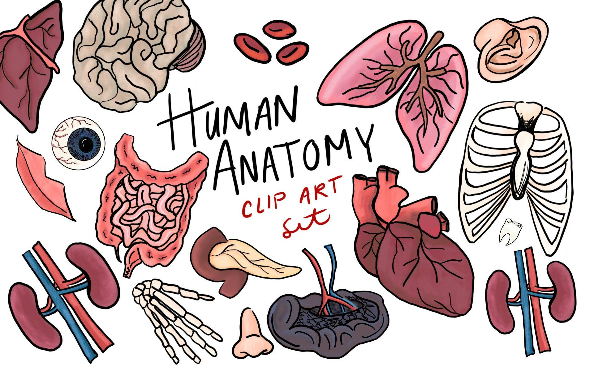 Human Anatomy Clip Art, hand drawn clip art, commercial use.