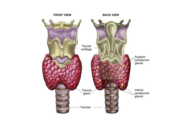 The Thyroid Gland in the Endocrine System.
