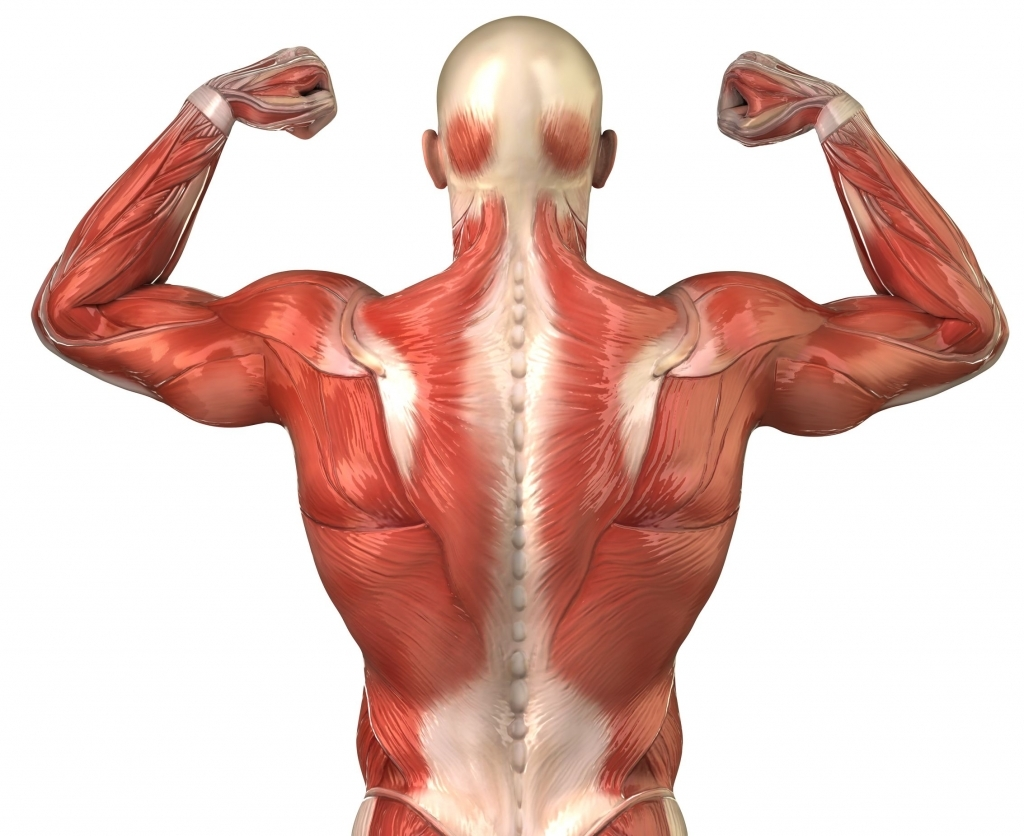 Interactive Anatomy Muscles Back Muscle Clipart Clipart Kid.