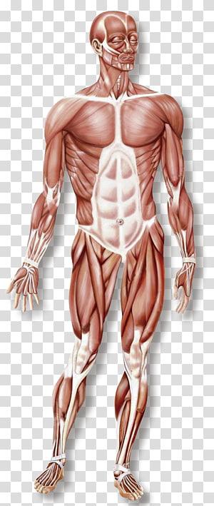 Human body anatomy, Skeletal muscle Human skeleton Muscular.