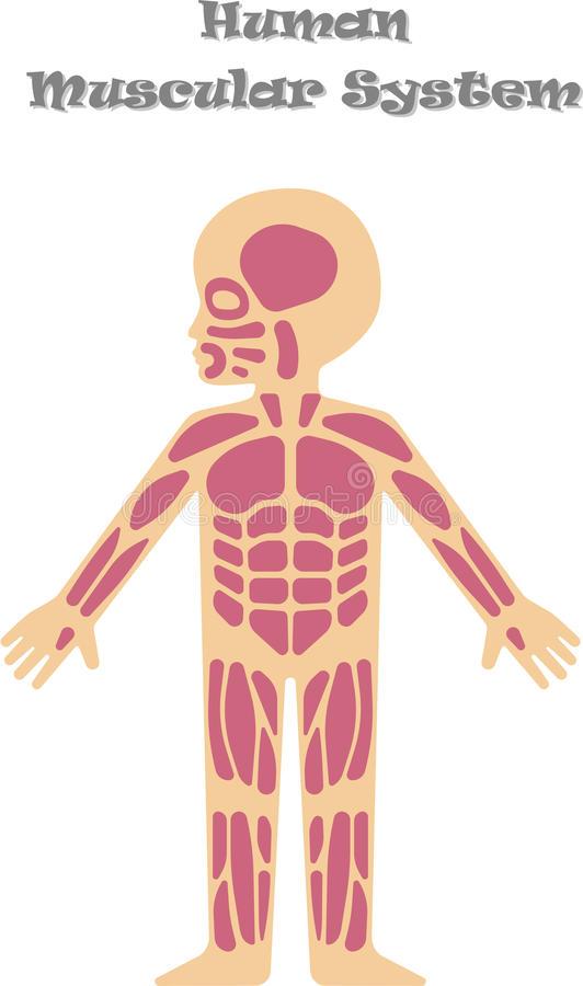 Kids Muscular System Stock Illustrations.