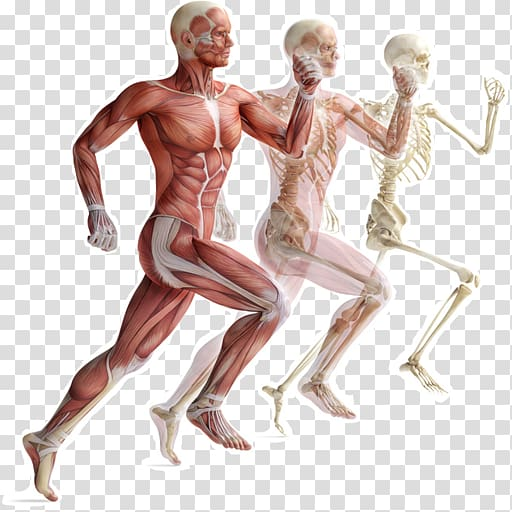 Skeletal muscle Human skeleton Muscular system Human body.