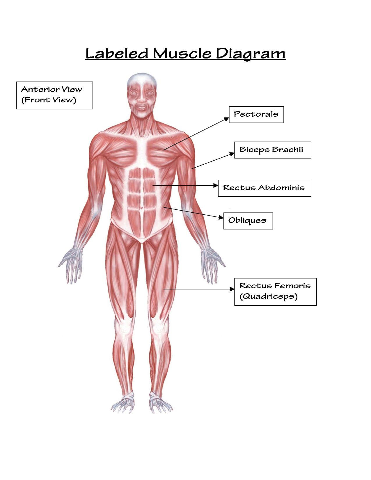 Muscular System Pictures For Kids . Muscular System Pictures.