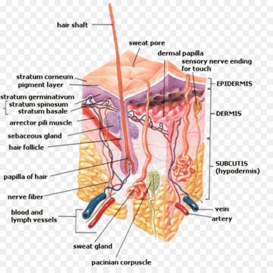 Sweat gland Hair follicle Perspiration Human body.