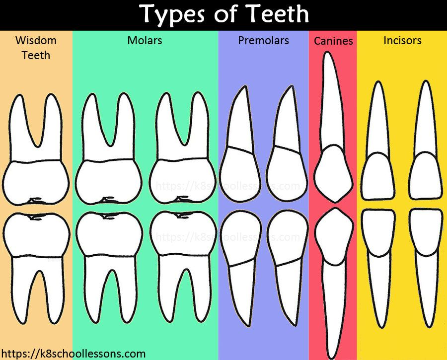 Human Tooth Structure for Kids.