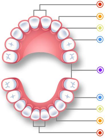 How many teeth do humans have? Kids v adult teeth.
