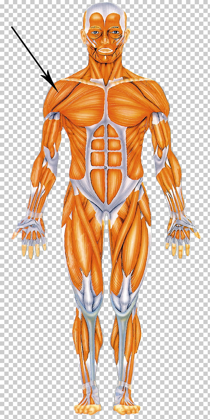 Human body Muscular system Muscle Human anatomy Homo sapiens.