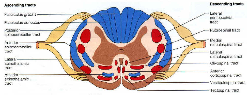 The Spinal Cord, anatomy revision..