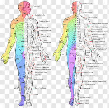 Spinal cord cutout PNG & clipart images.
