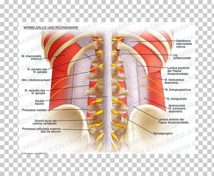 Vertebral column Spinal cord Lumbar vertebrae Anatomy Rachis.