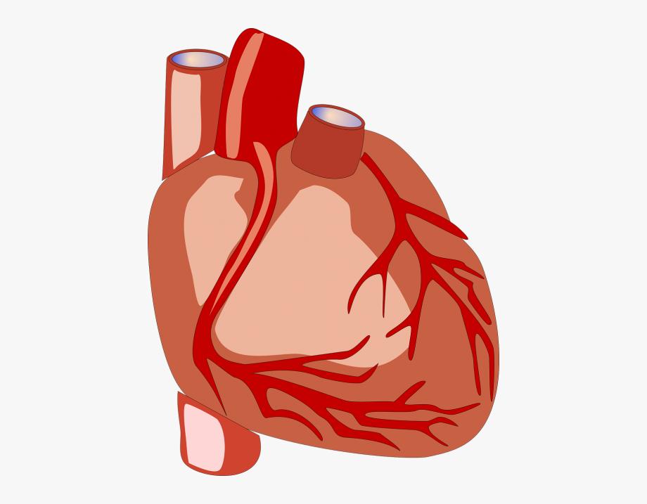 Heart Human Heart Anatomy.