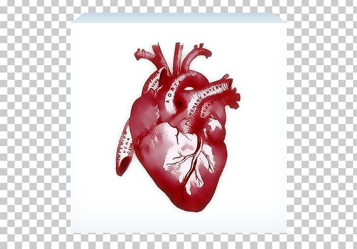 Human Anatomy Heart Rib Cage PNG, Clipart, Anatomy, Biology.