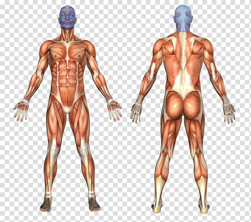 Muscular system Human body Human anatomy Muscle, the.