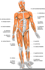 Anatomy And Physiology Clipart.