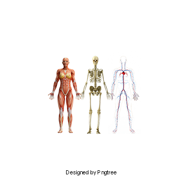 Human Anatomy PNG Images.
